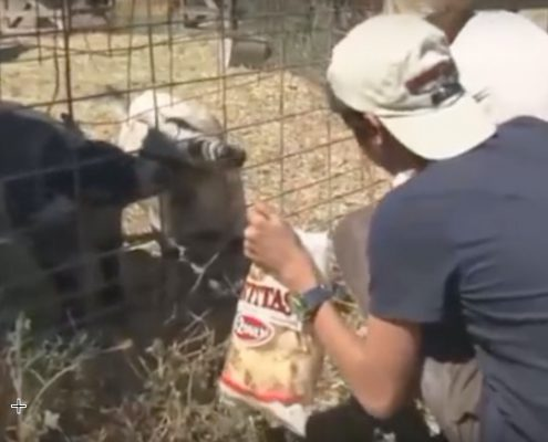 Pygmy Goats1a