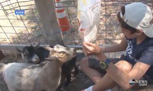 Pygmy Goats2